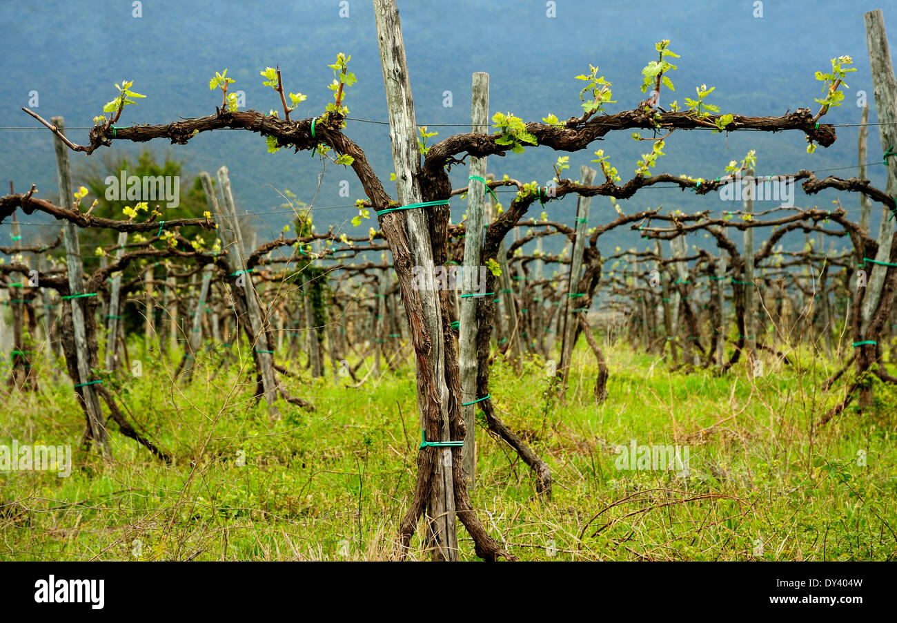 Grapevine Growing In Italy Grape Vines Italian Stock Photo