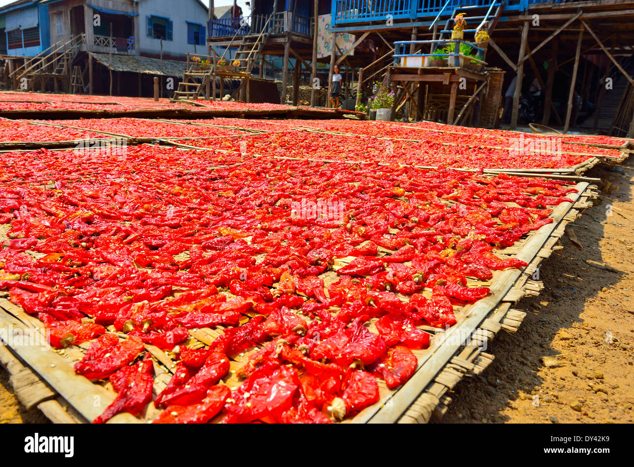 Cooked and salted prepared chili peppers from under the stilt houses left on bamboo trays out to sun dry  ,Cambodia - Stock Image