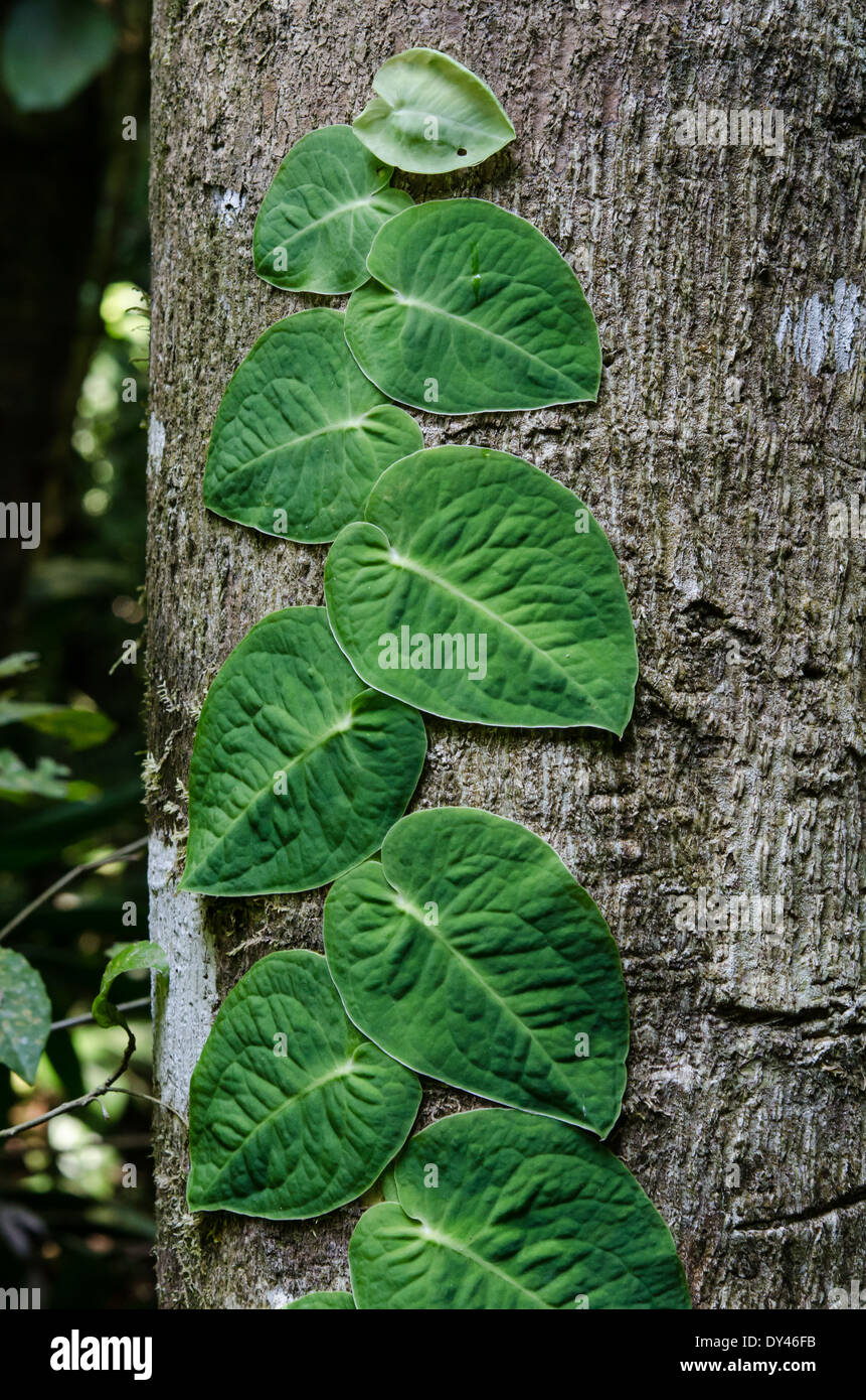 A vine with large green leaves clinching on a tree trunk. Monteverde, Costa Rica. - Stock Image