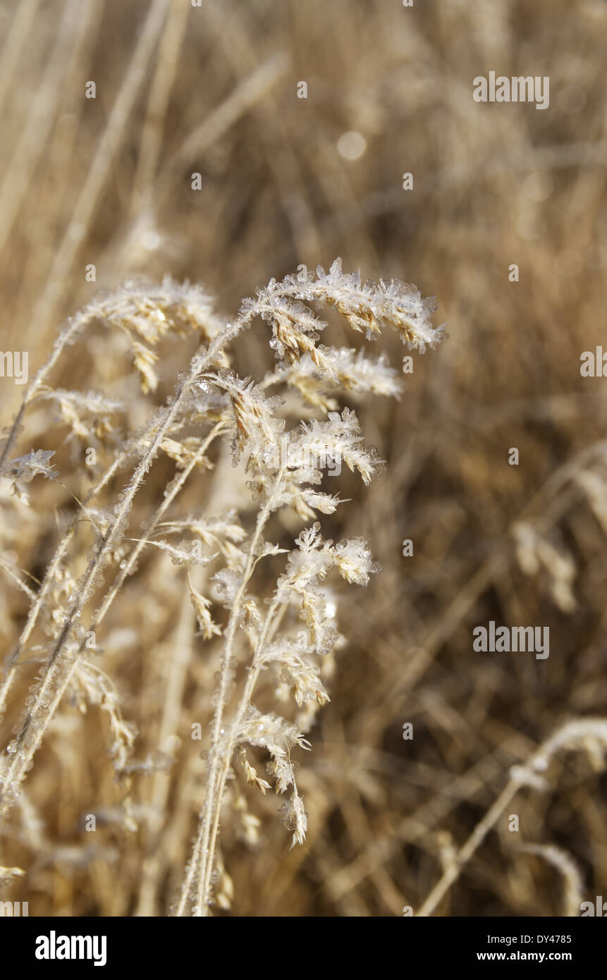 large frost crystals on tall grass seed heads with shallow depth of field - Stock Image