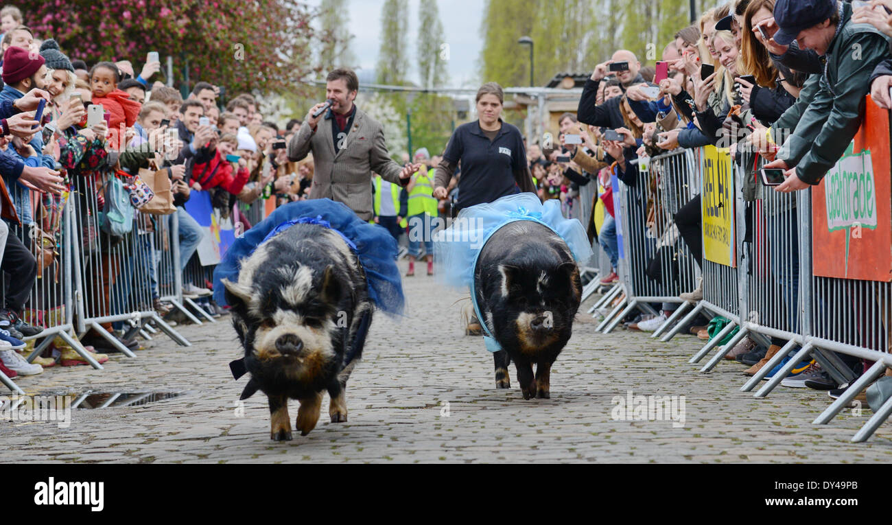London, UK. 06th Apr, 2014. Pigs race at the Spitalfields City Farm in London on the day of the Oxford and Cambridge 'Goat Race'. Credit:  See Li/Alamy Live News - Stock Image
