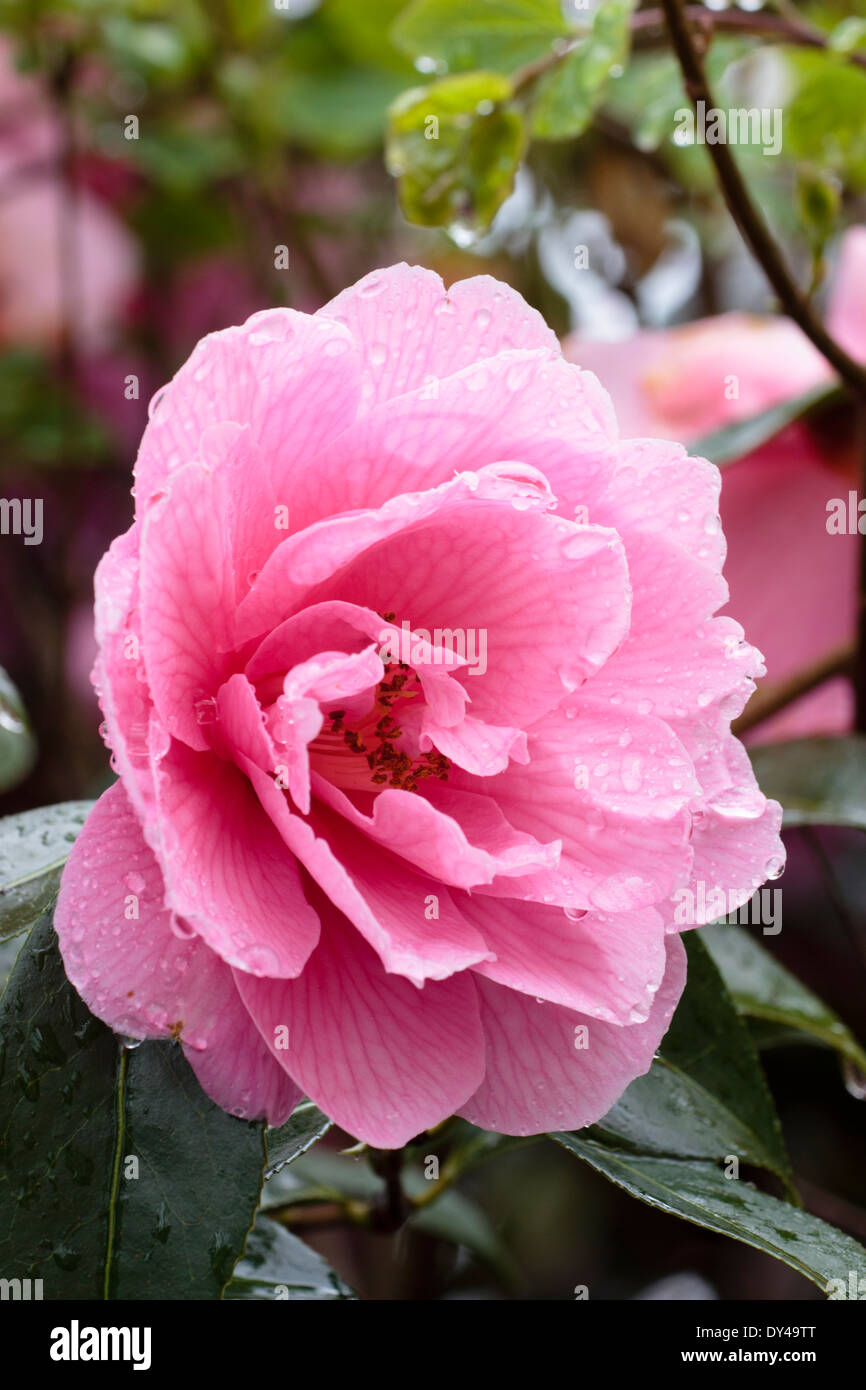 Single rain wet flower of the semi double Camellia x williamsii 'Donation' in a Plymouth garden - Stock Image