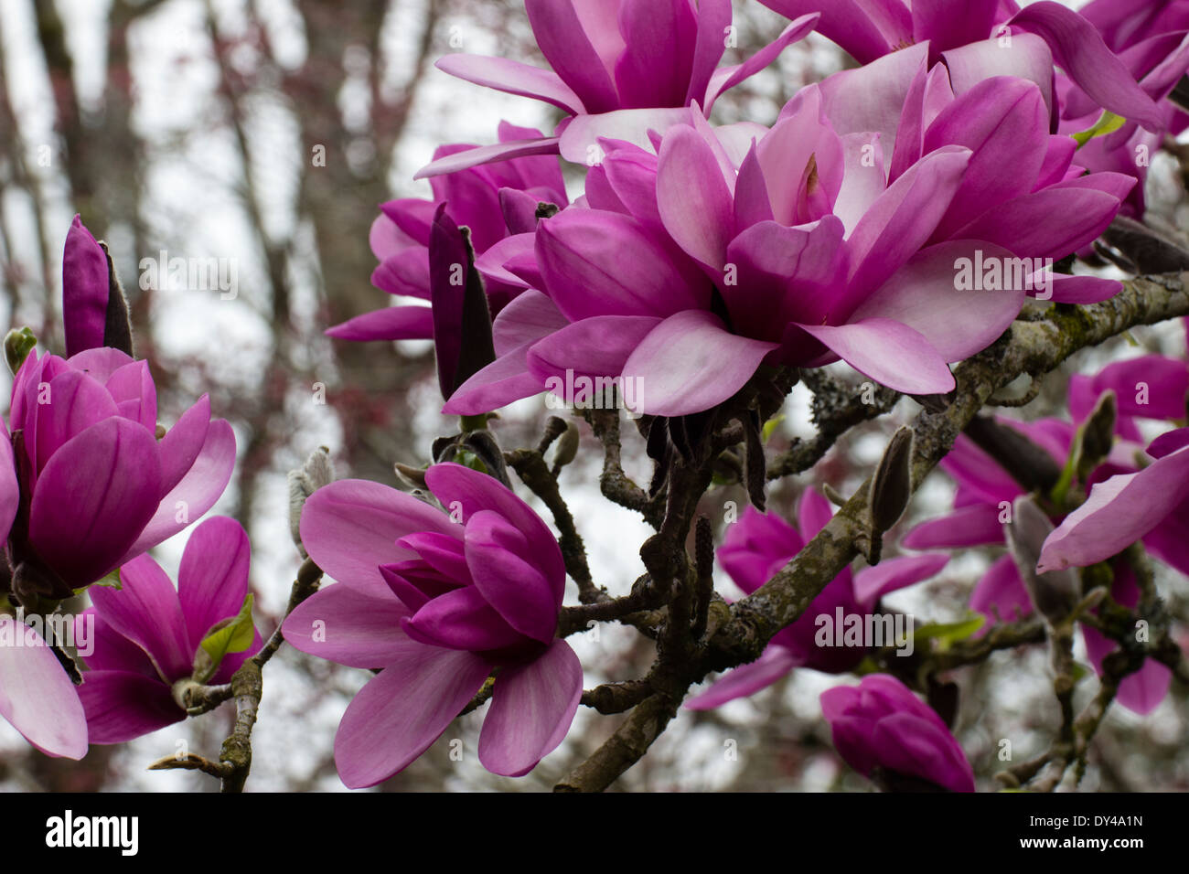 Flowers of the tree Magnolia 'Apollo' in a Cornish garden - Stock Image