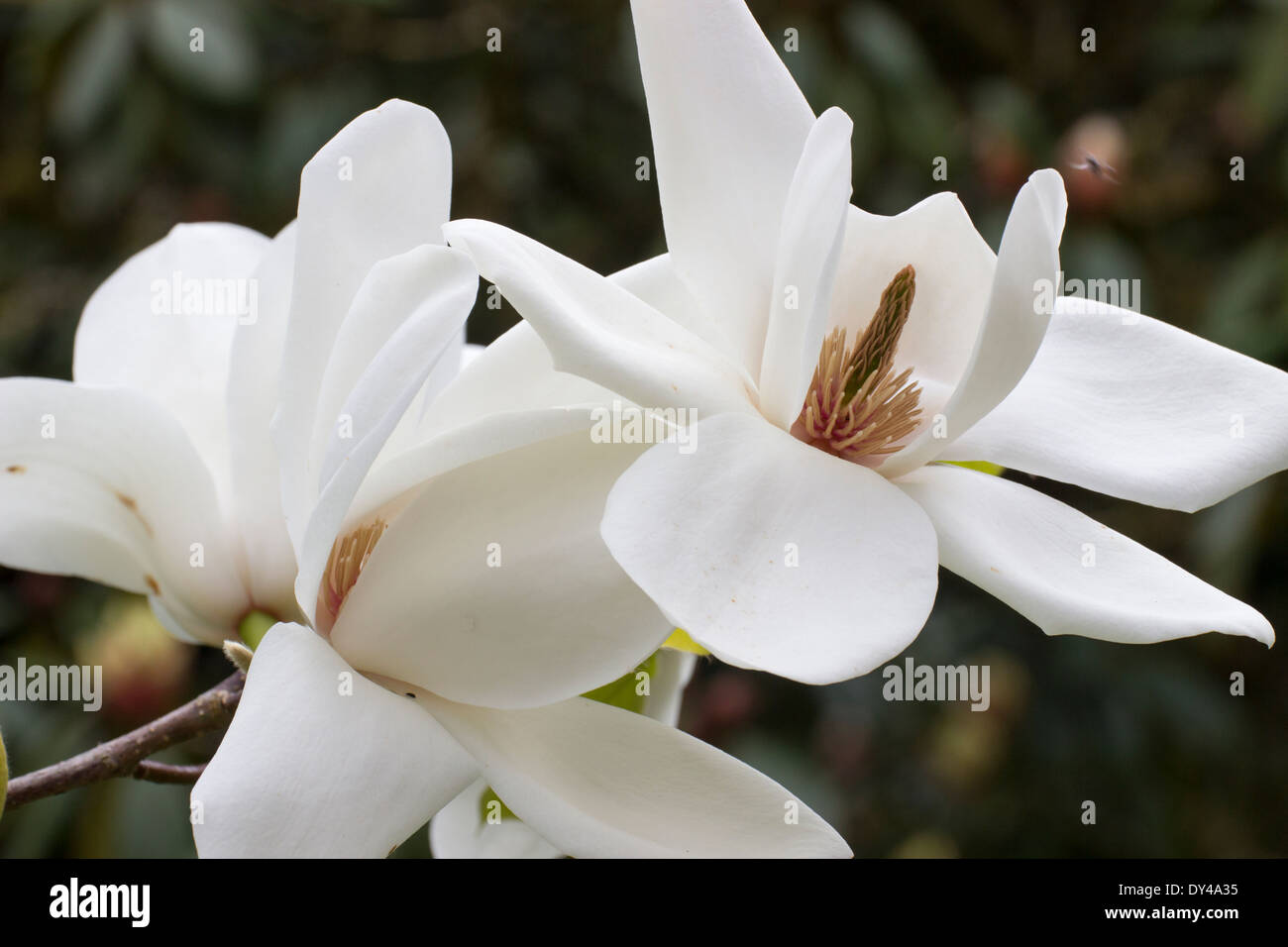 Large white flowers of magnolia david clulow in a cornish garden large white flowers of magnolia david clulow in a cornish garden mightylinksfo