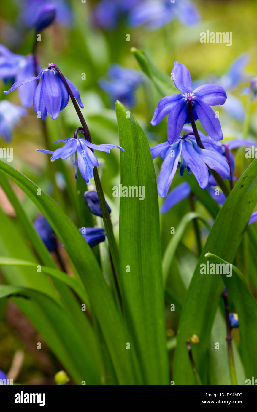 Blue flowers of the spring bulb scilla siberica stock photo blue flowers of the spring bulb scilla siberica mightylinksfo