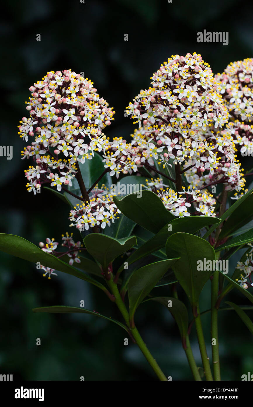 Male flowers of the red budded evergreen, Skimmia japonica 'Rubella' - Stock Image