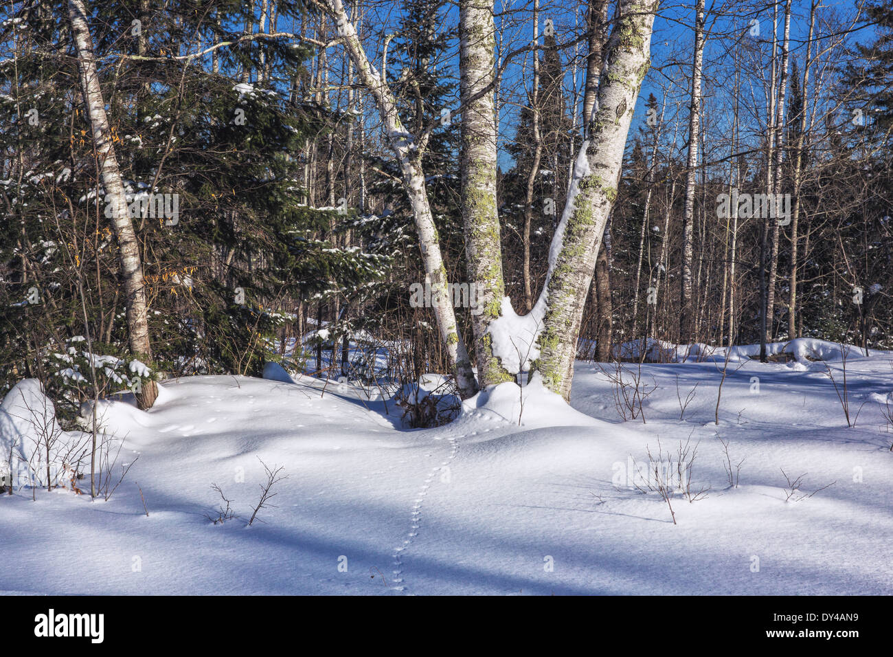 Animal tracks in the snow - Stock Image