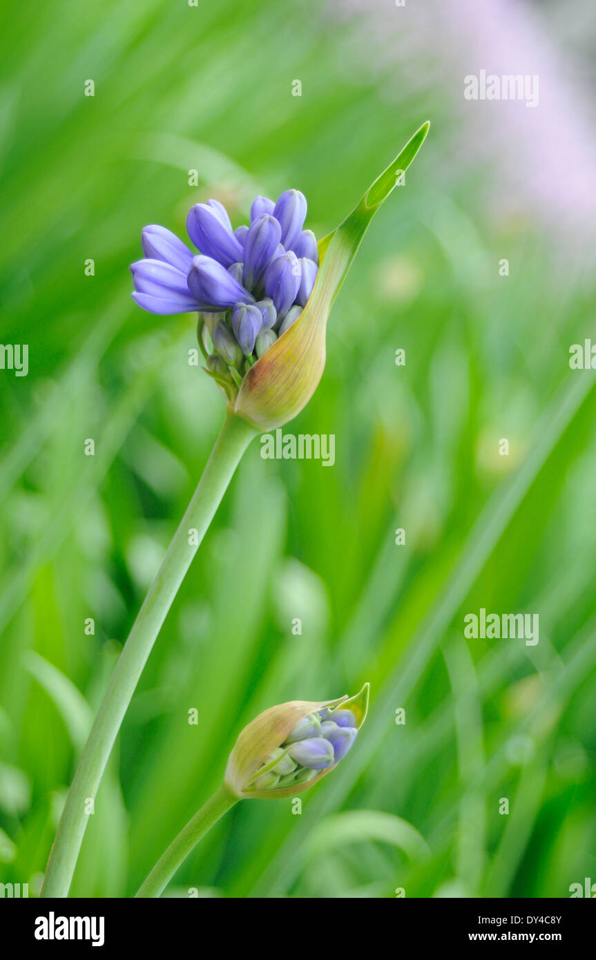 Bluebells in bloom - Stock Image