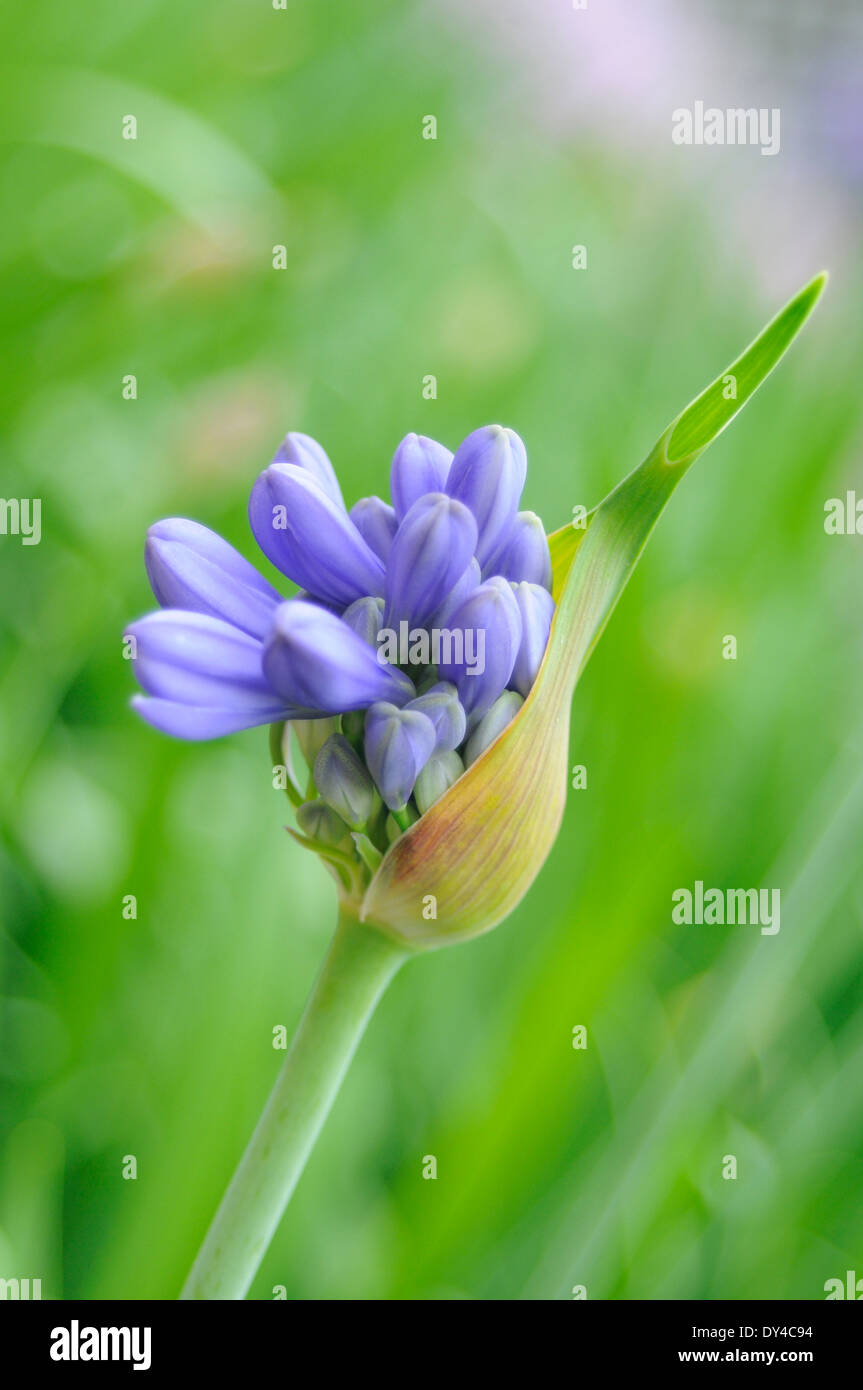 Bluebell in bloom - Stock Image