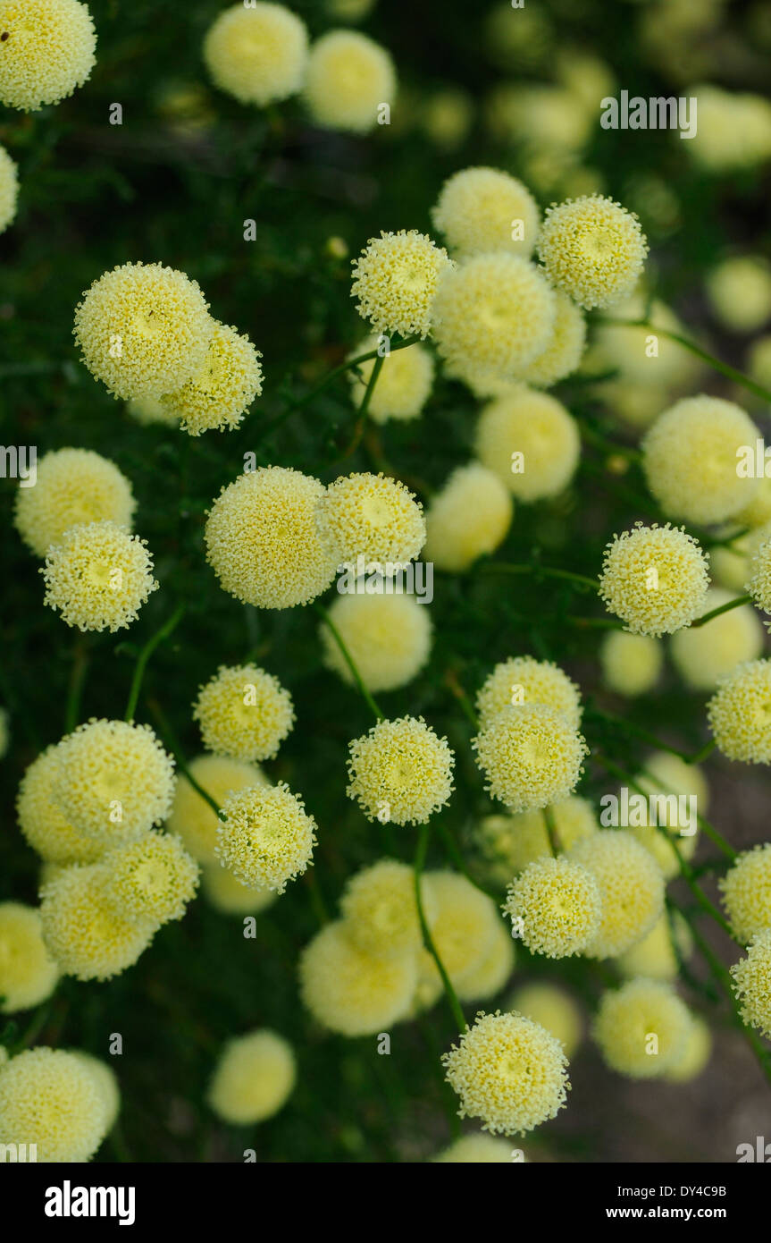 Yellow Chrysanthemum Balls in Bloom - Stock Image
