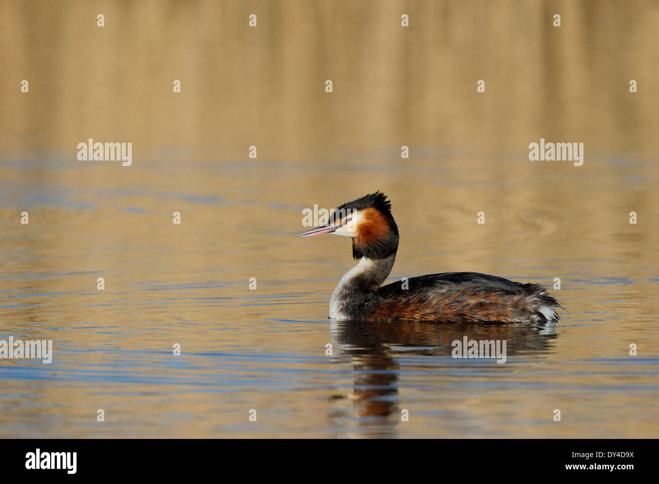 Great-crested grebe, Podiceps cristatus, single bird on water, Shropshire, March 2014 - Stock Image