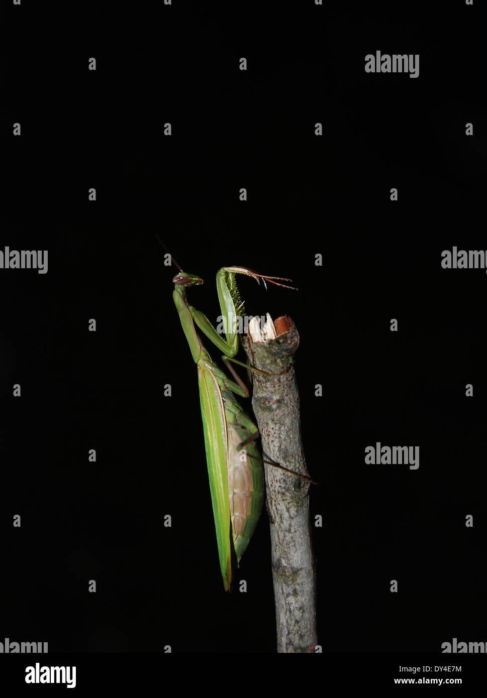Preying Mantis poised on stick against black background - Stock Image