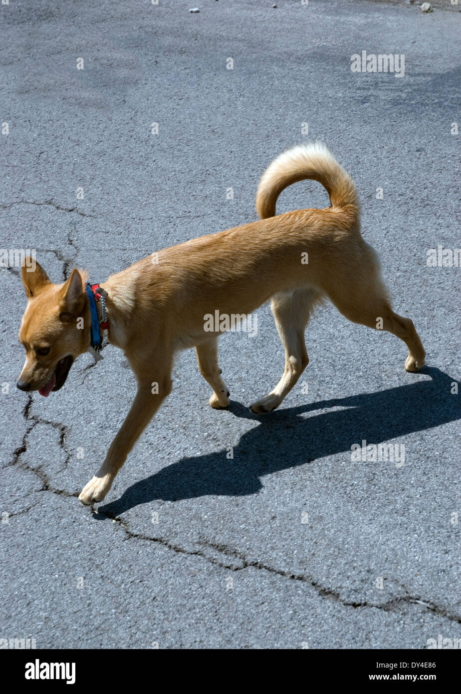 Walking brown rescue dog with shadow on pavement - Stock Image