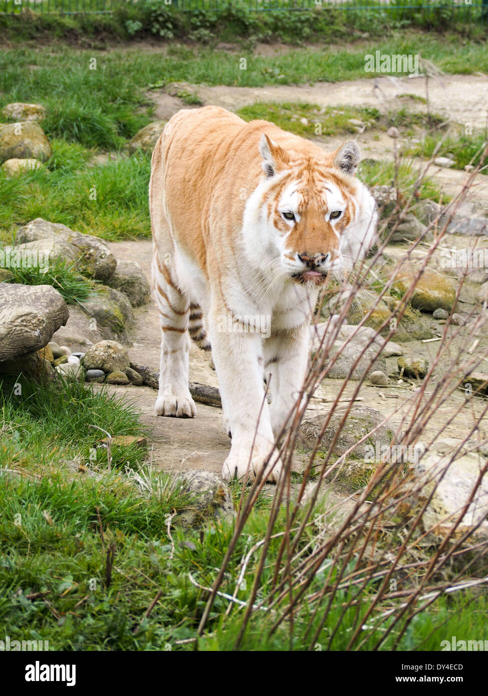 Diamond, a Bengal tiger homed within the Isle of Wight zoo. Diamonds parents are carriers of the white gene. - Stock Image