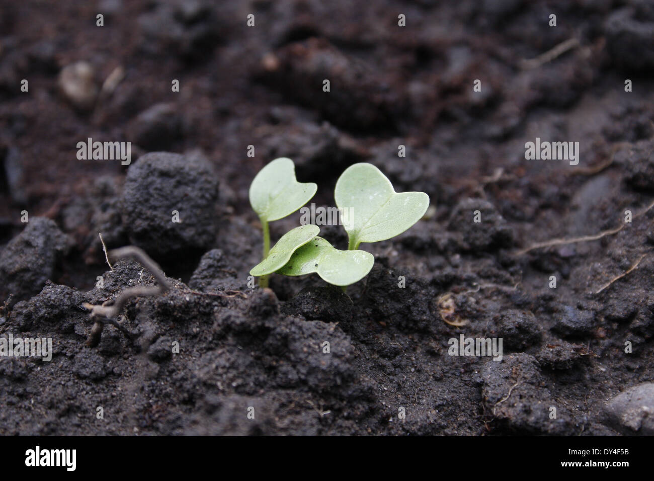 radish 'scarlet globe' seedling in veg patch Raphanus sativus - Stock Image