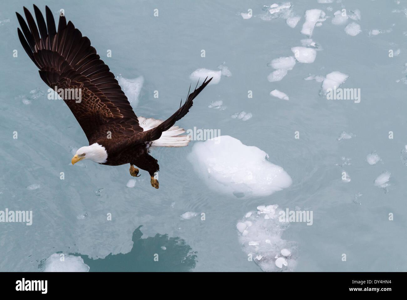 Bald Eagle, Glacier Bay National Park, Alaska - Stock Image