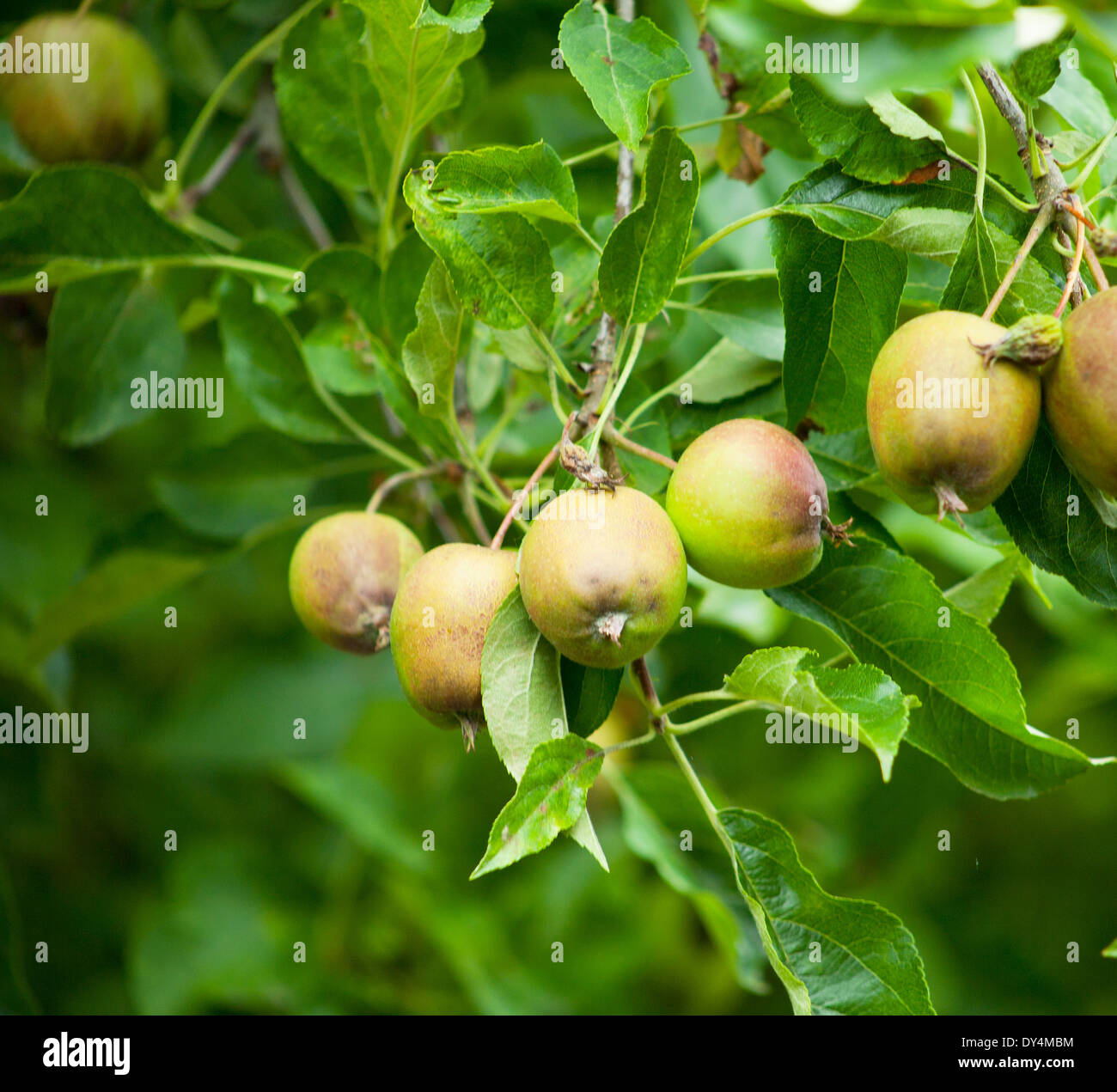 a tight shot of apples growing on a tree still gree with a little color - Stock Image