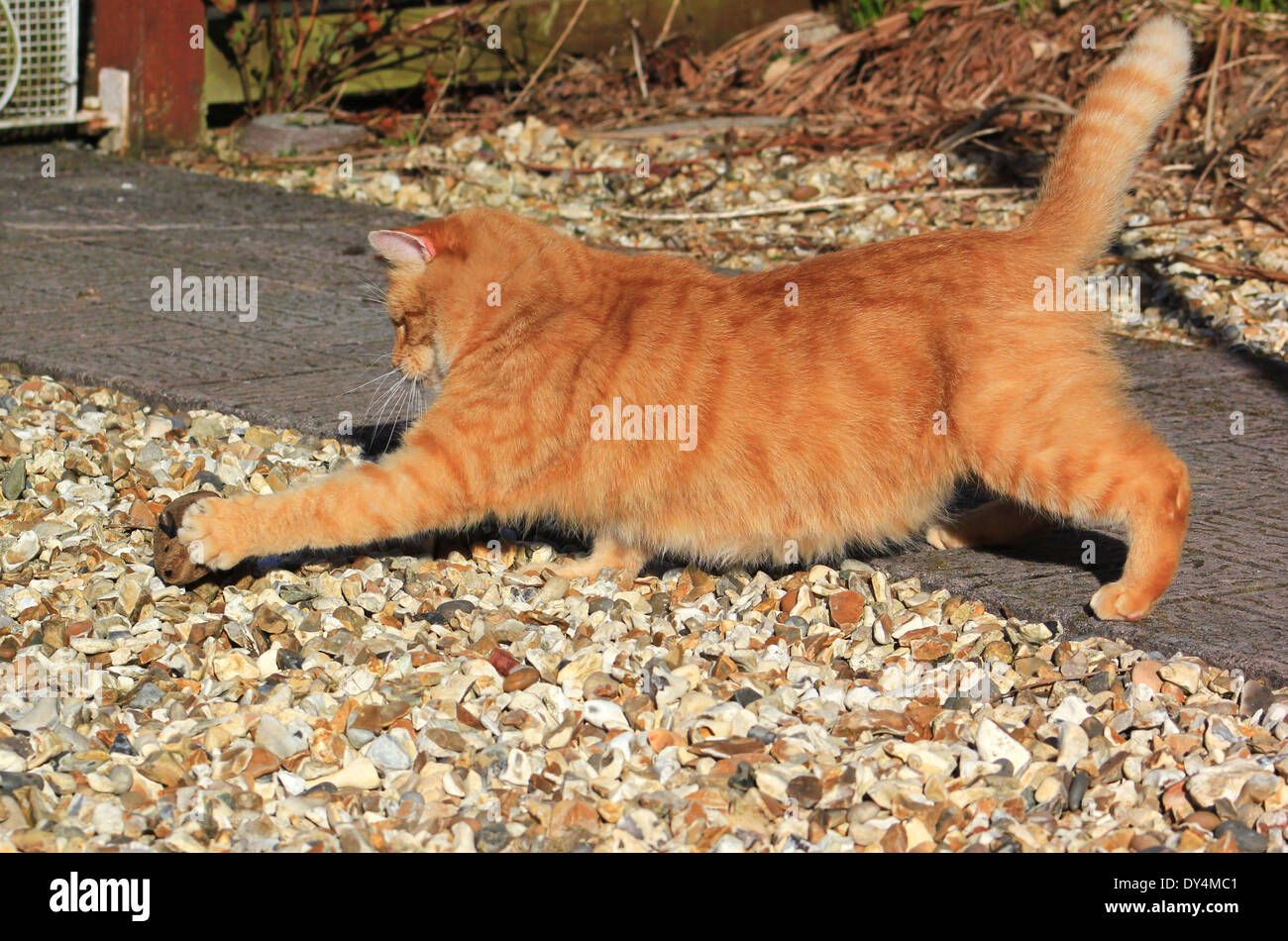 Ginger cat playing with toy mouse Stock Photo