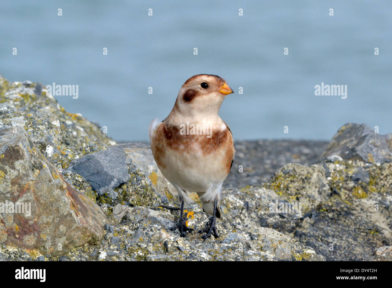 Snow Bunting bird portrait on rocks against blue sky in Cornwall - Stock Image