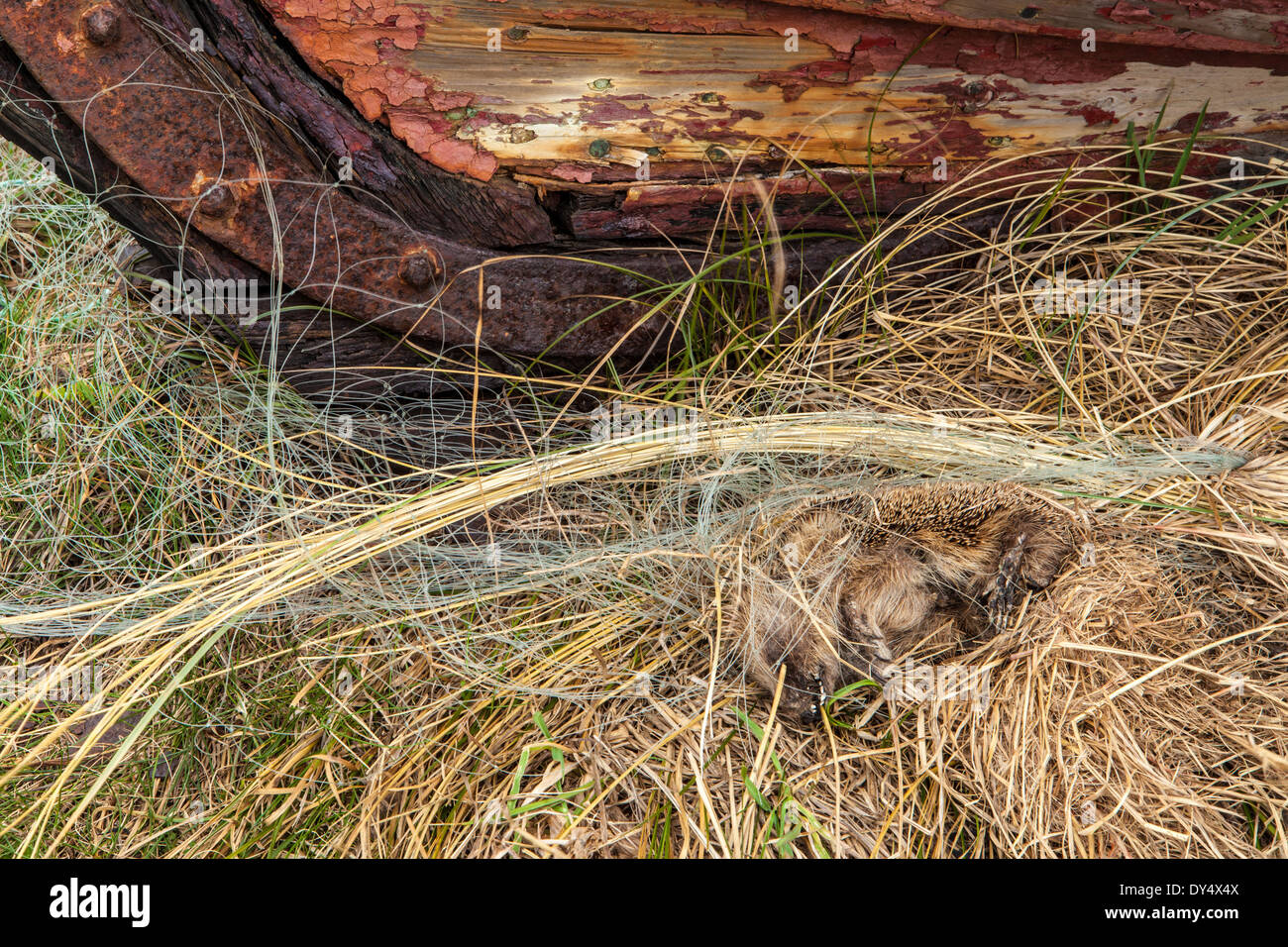 Dead Hedgehog and Rotting Boat Hull on Holy Island, Lindisfarne, England - Stock Image