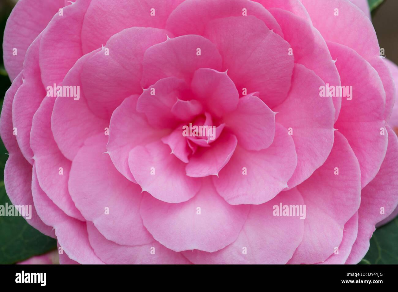 Camellia x Williamsii E.G Waterhouse flower - Stock Image