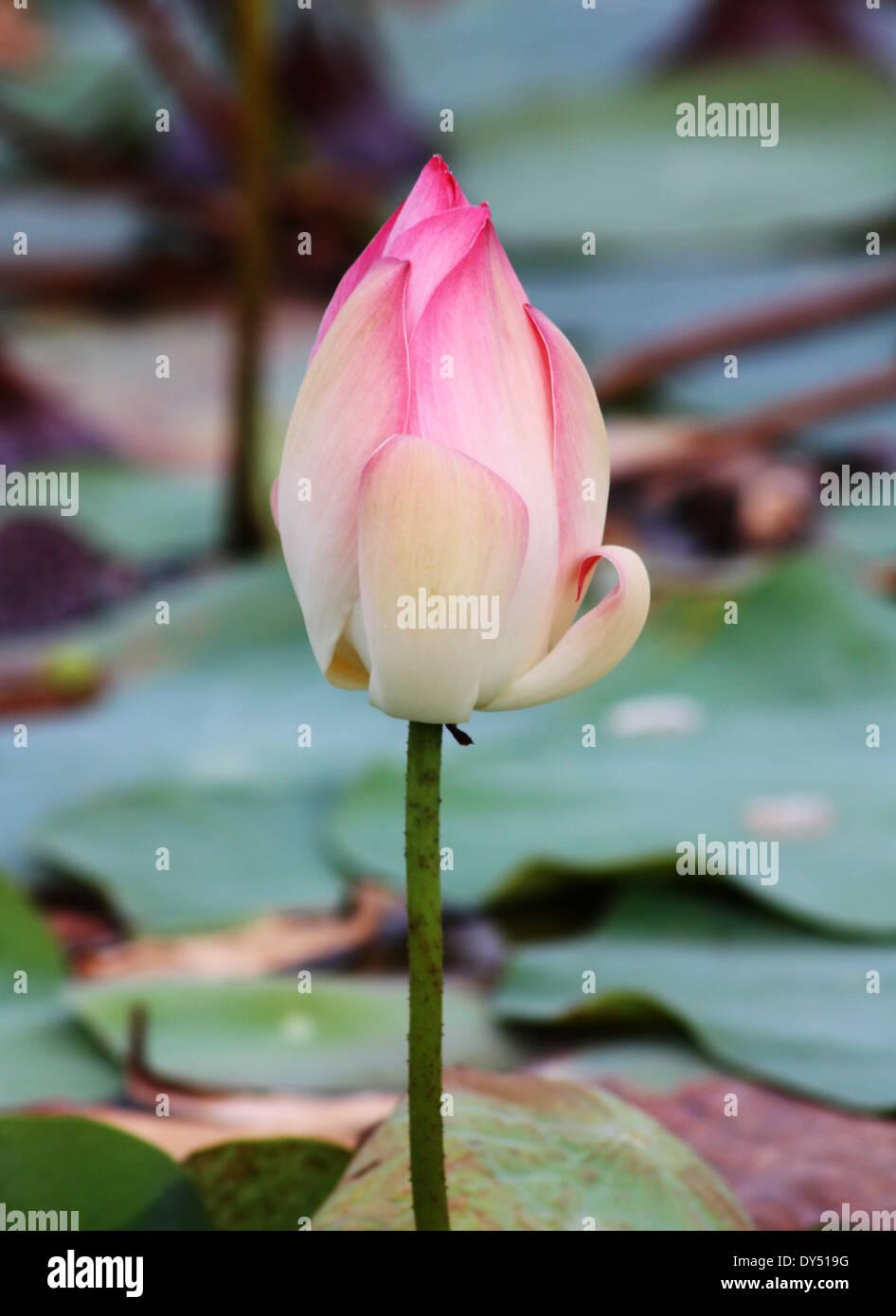 Lotus bud in pond - Stock Image