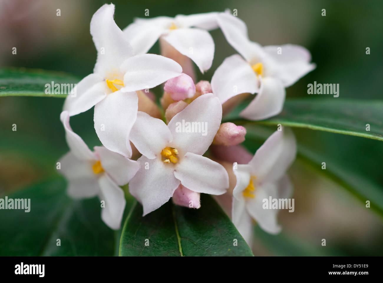 Daphne bholua, Shrub,December. Portrait of white flowers. - Stock Image