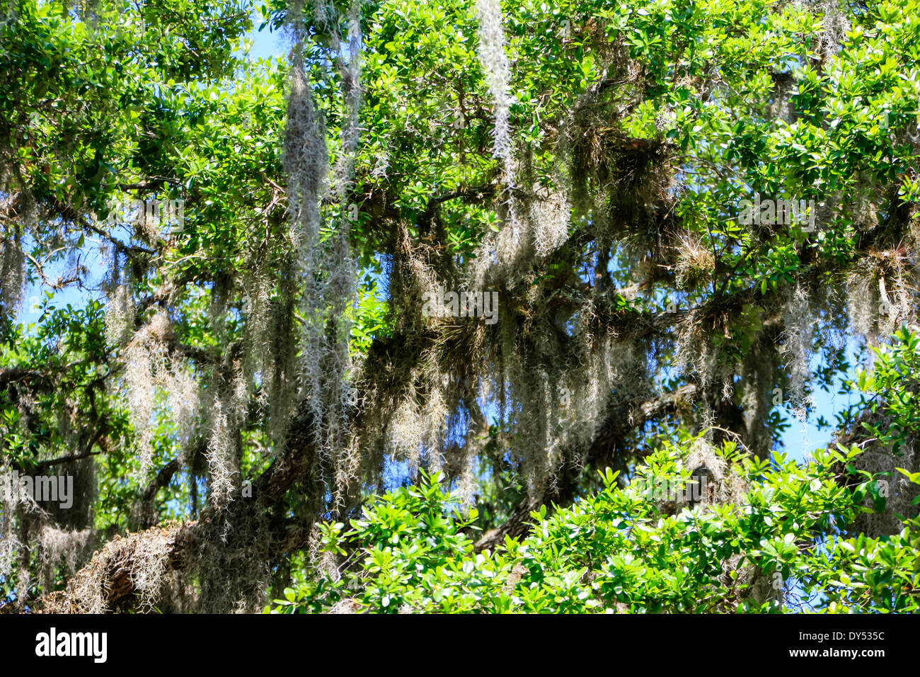 Spanish Moss ever present in the trees of the Southern States of America - Stock Image