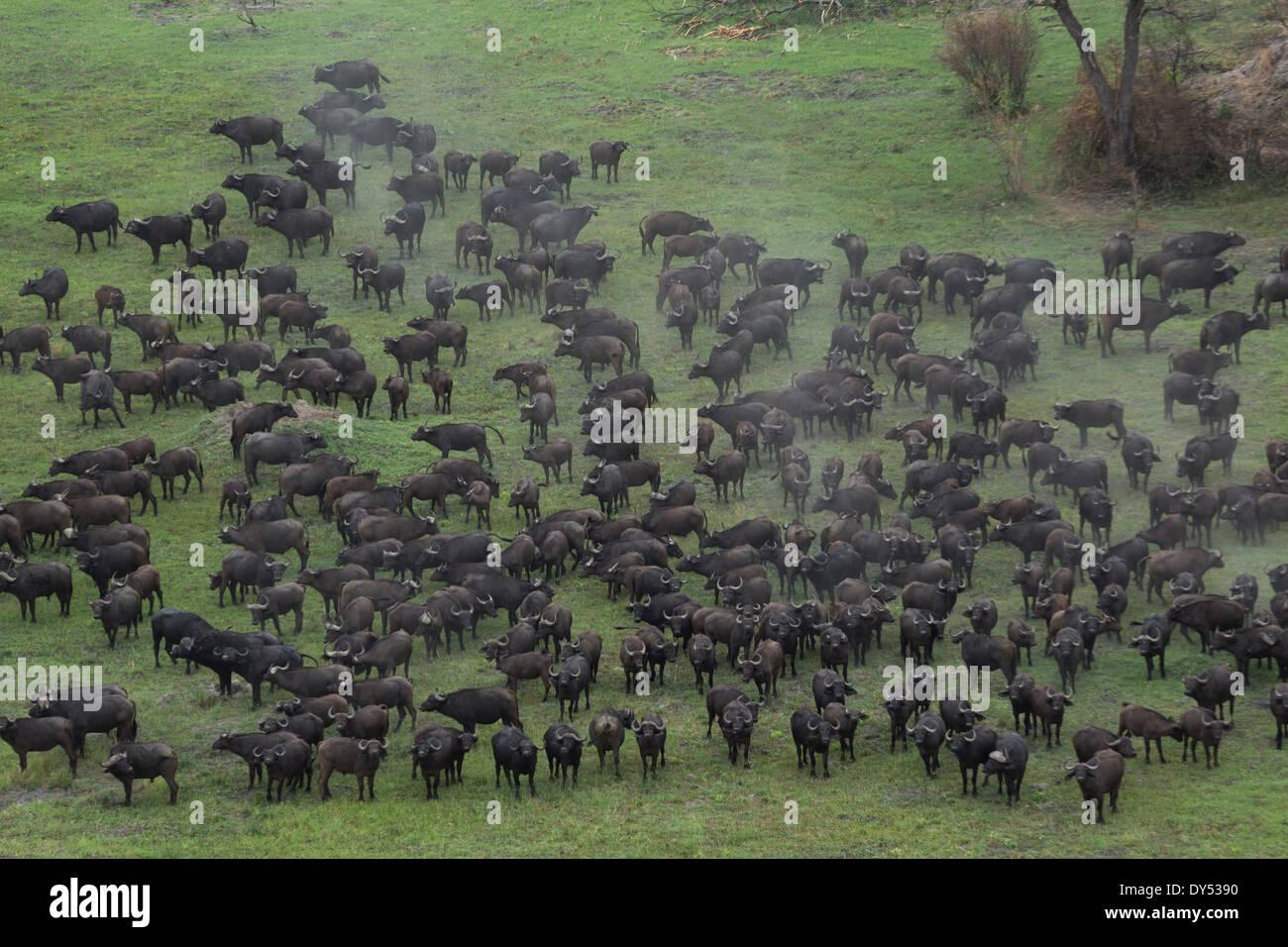 Aerial view of a herd of buffalo, Okavango Delta, Chobe National Park, Botswana, Africa - Stock Image