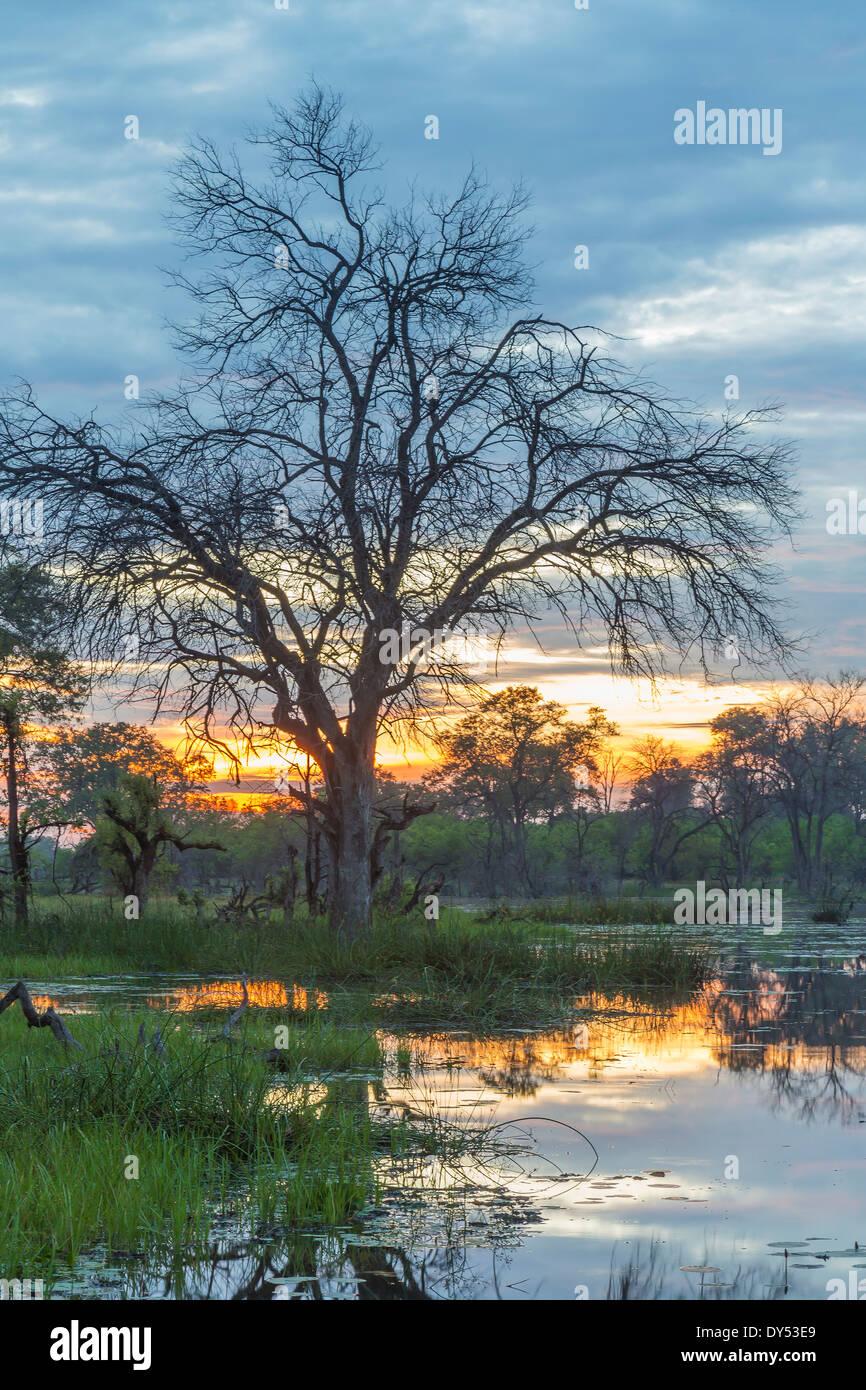 Swamp and trees, Okavango Delta, Chobe National Park, Botswana, Africa - Stock Image