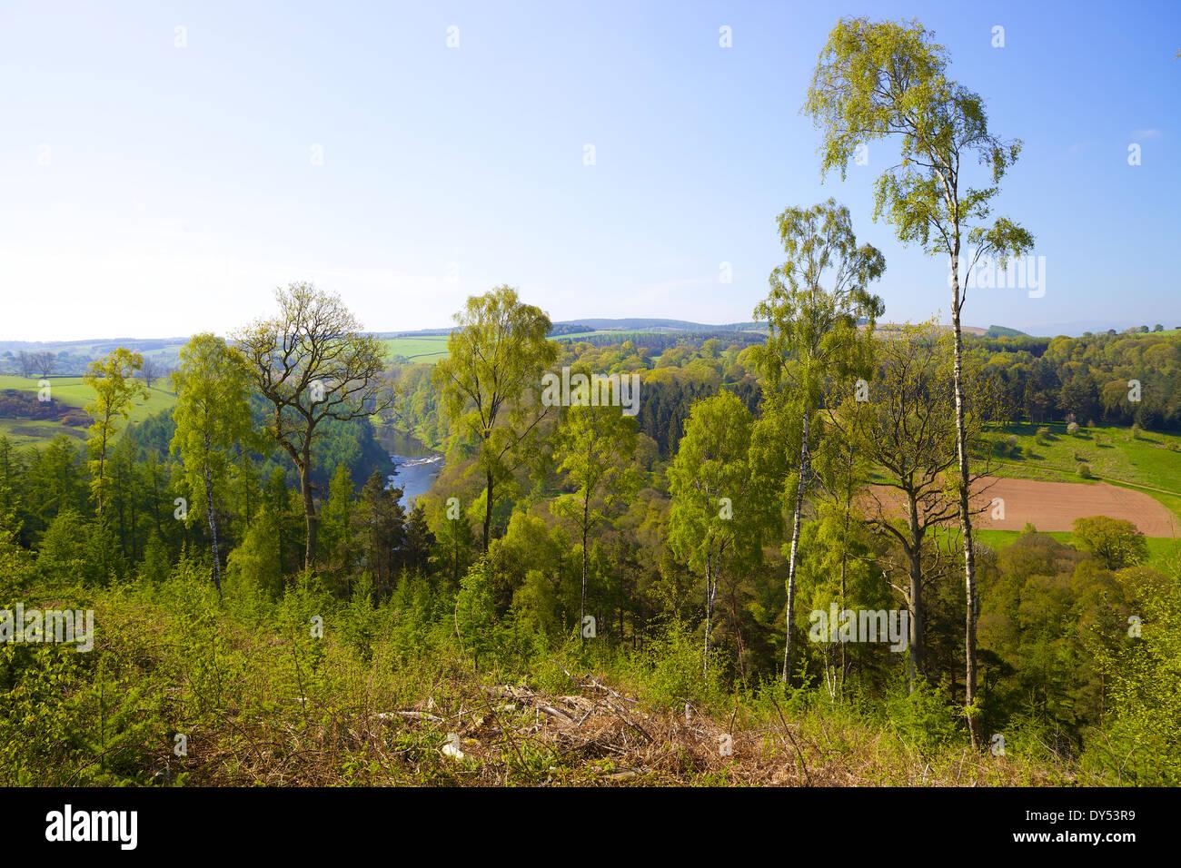 River Eden through the silver birch trees. Armathwaite, Eden Valley, Cumbria, England, United Kingdom. Summer - Stock Image