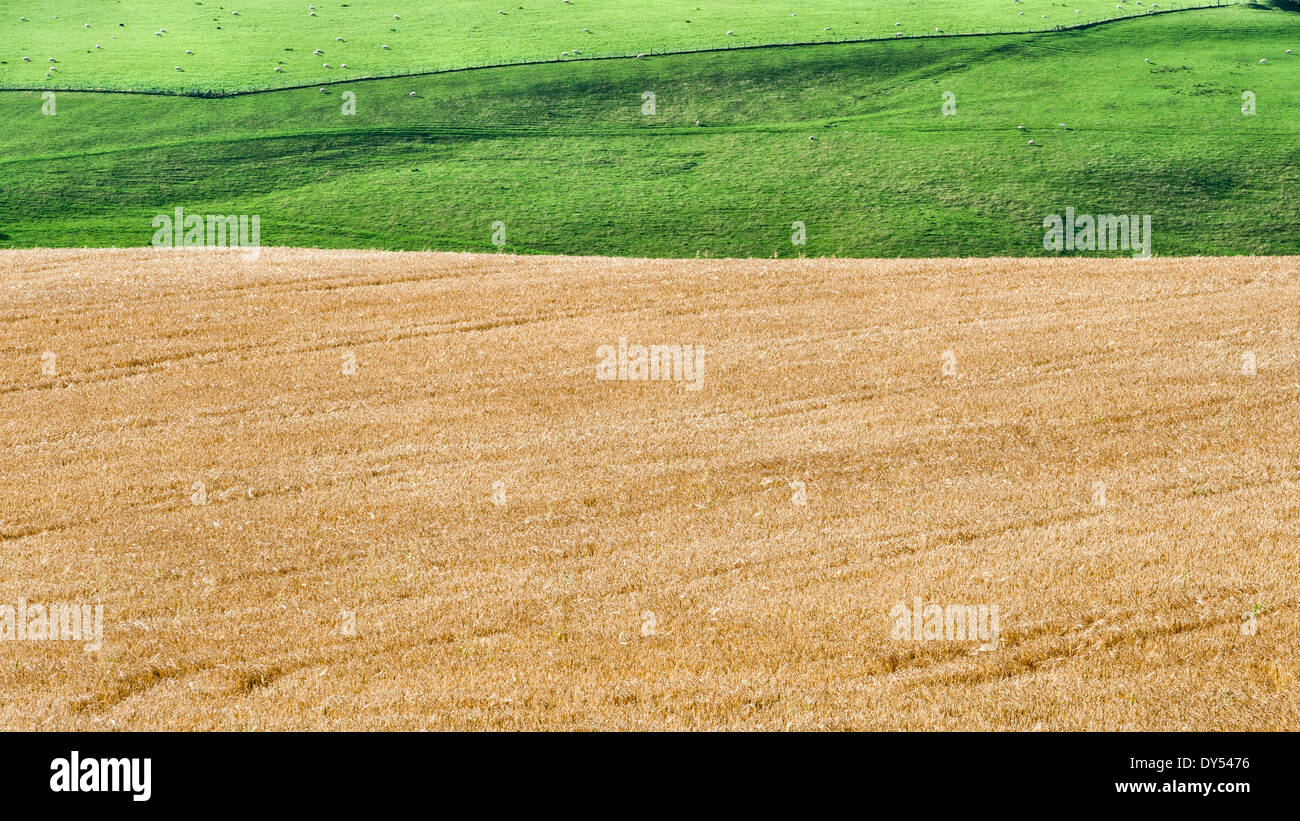 A ripe wheat field near Knighton, Powys Stock Photo