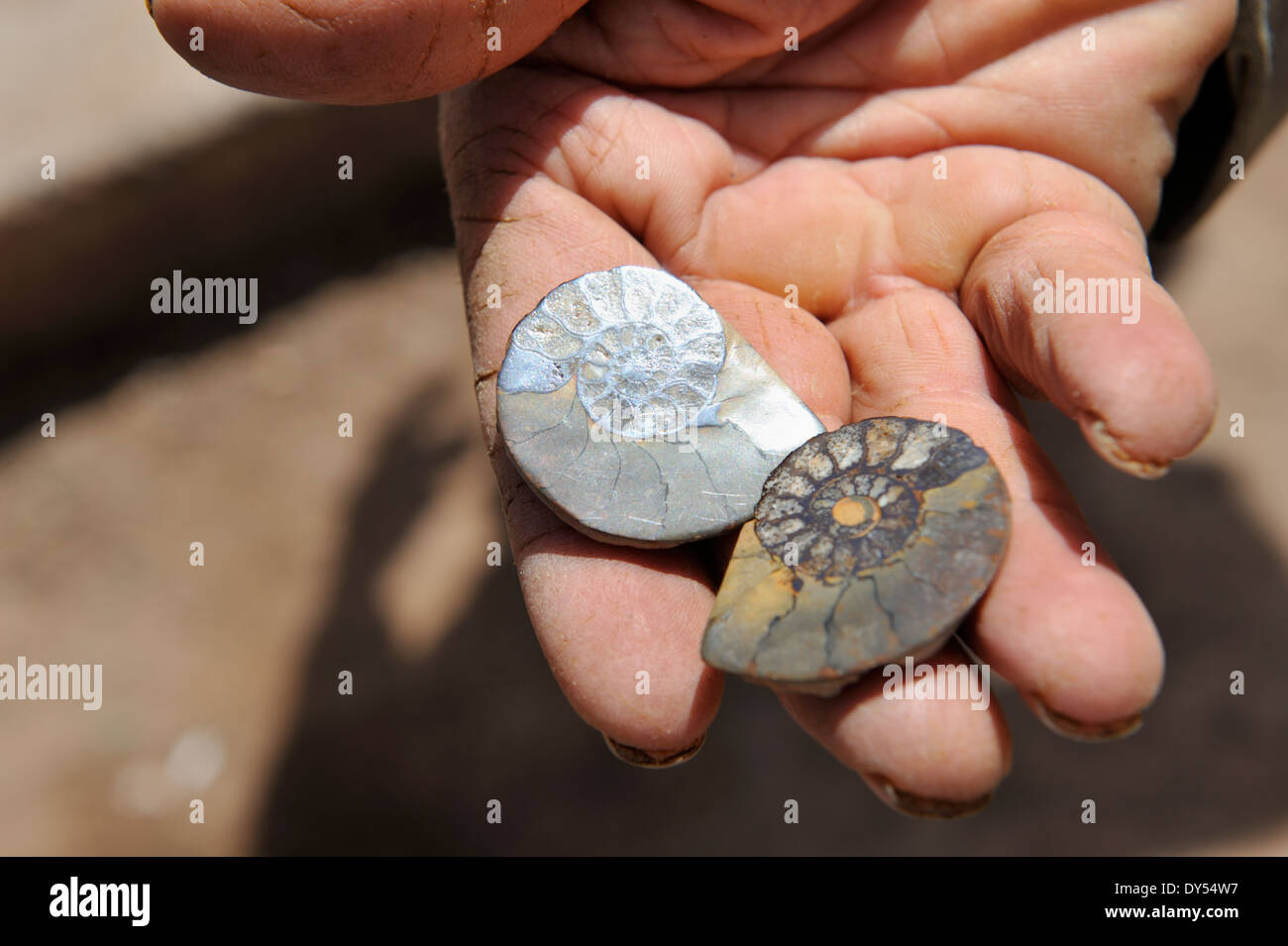 Two small fossil amenities, cut and polished, held in hand - Stock Image