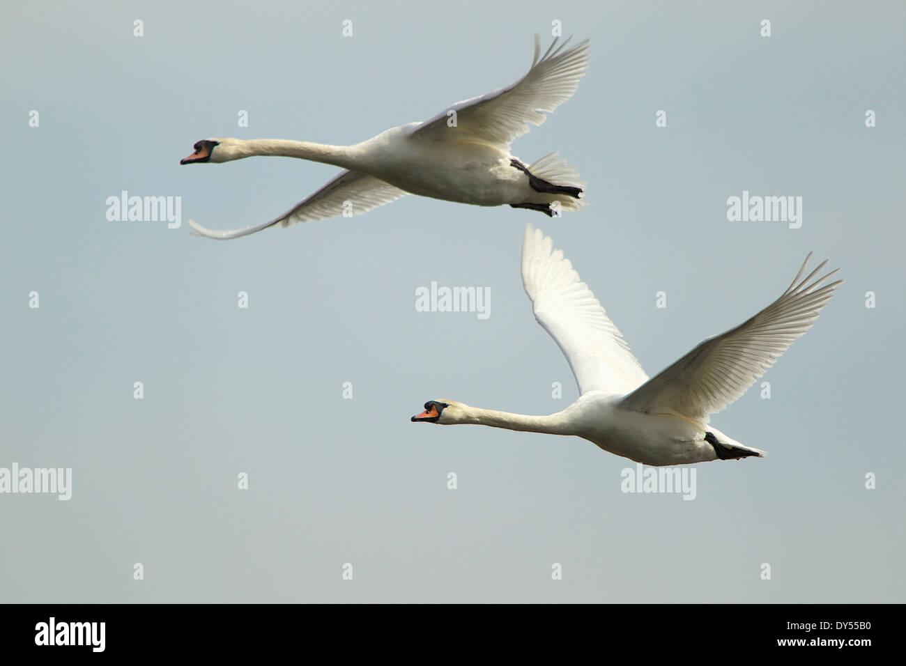 Mute swan - Cygnus olor - in flight Stock Photo