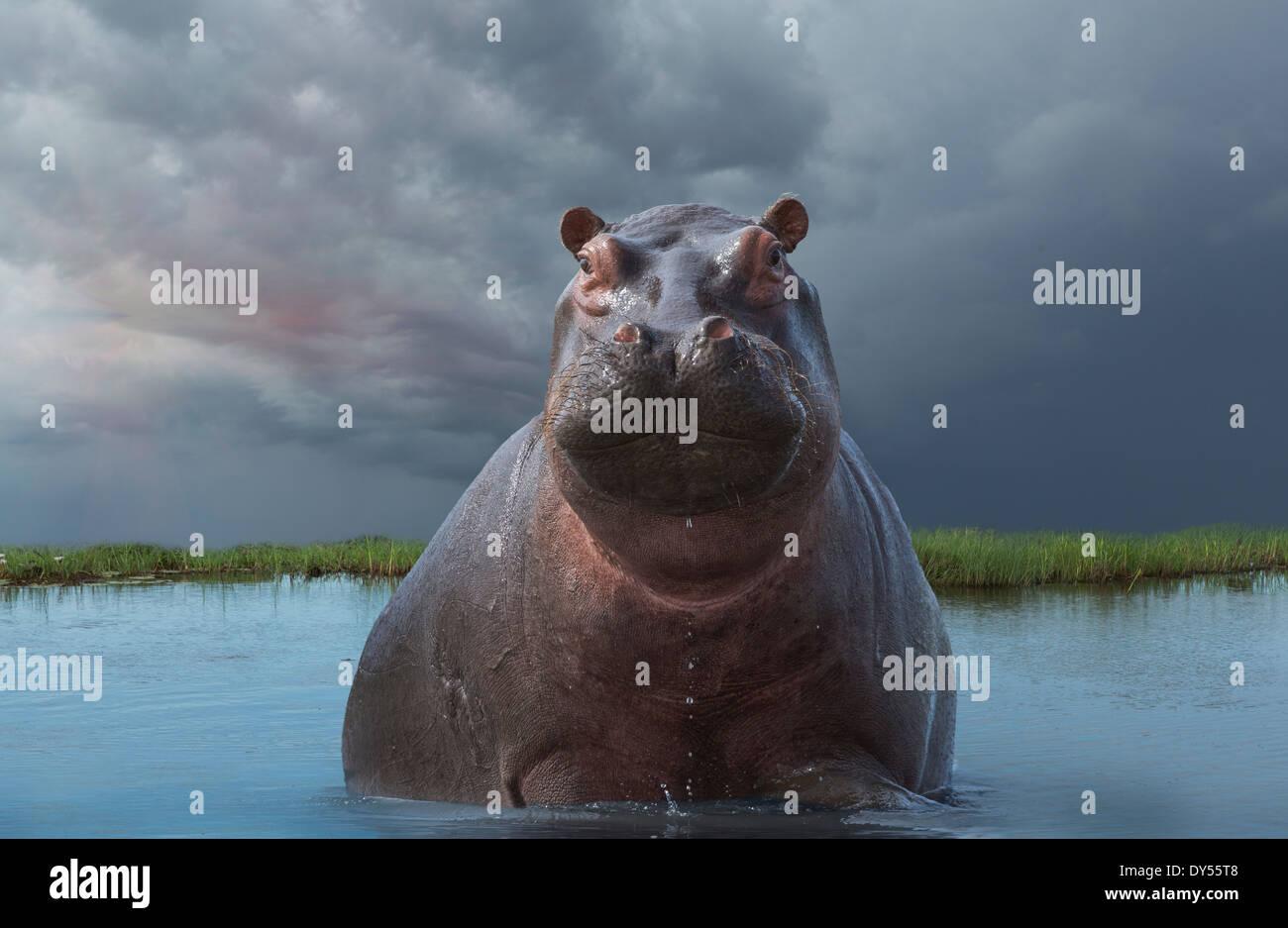 Hippo (Hippopotamus amphibius) - Stock Image