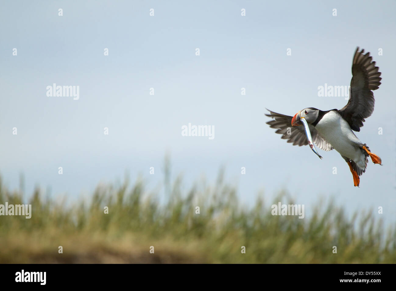 Atlantic Puffin in flight with fish in mouth, Farne Islands, Northumberland, England - Stock Image