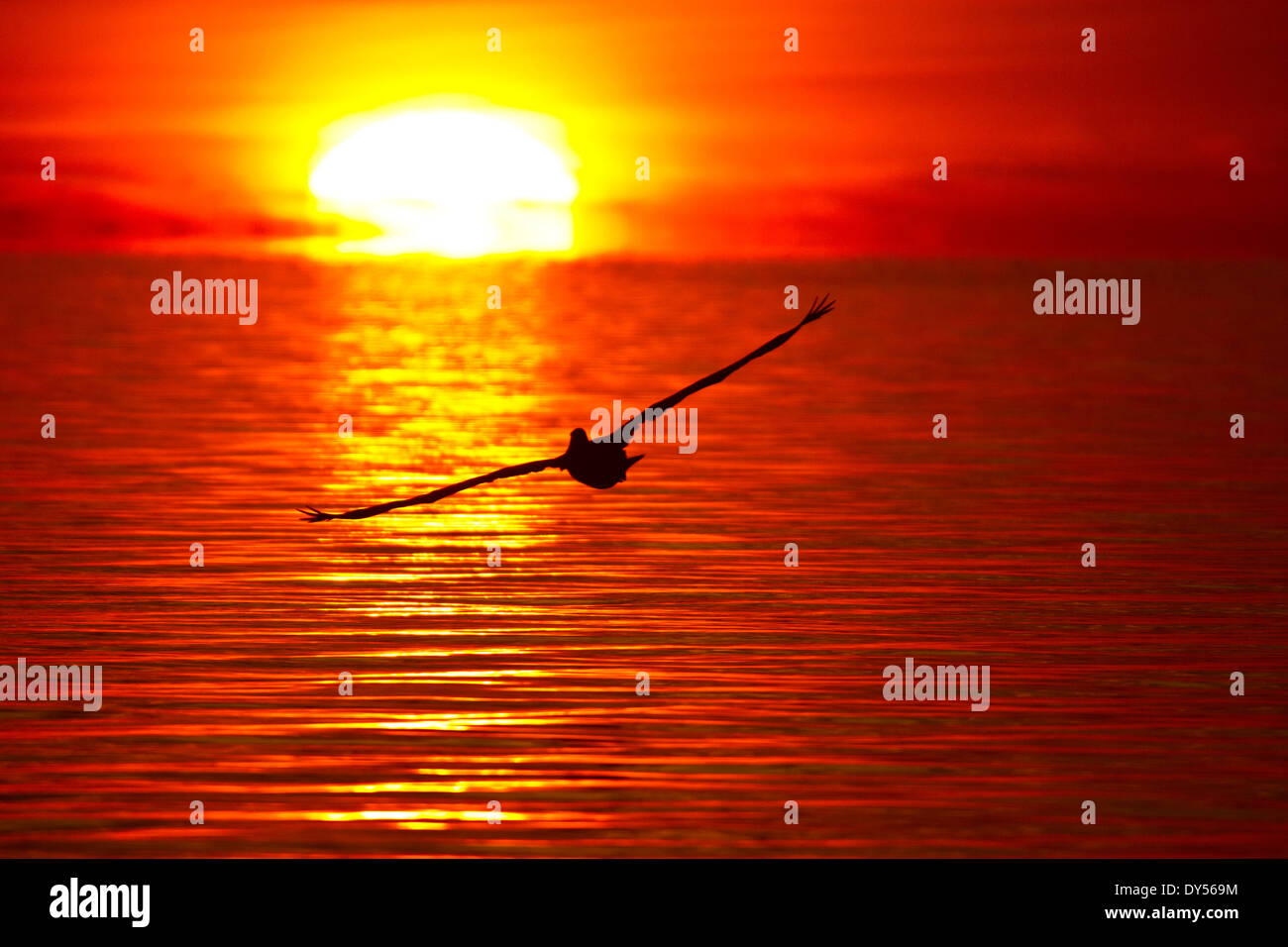 Brown Pelican soaring into a fiery reddish orange sunrise over the Gulf of Mexico - Stock Image