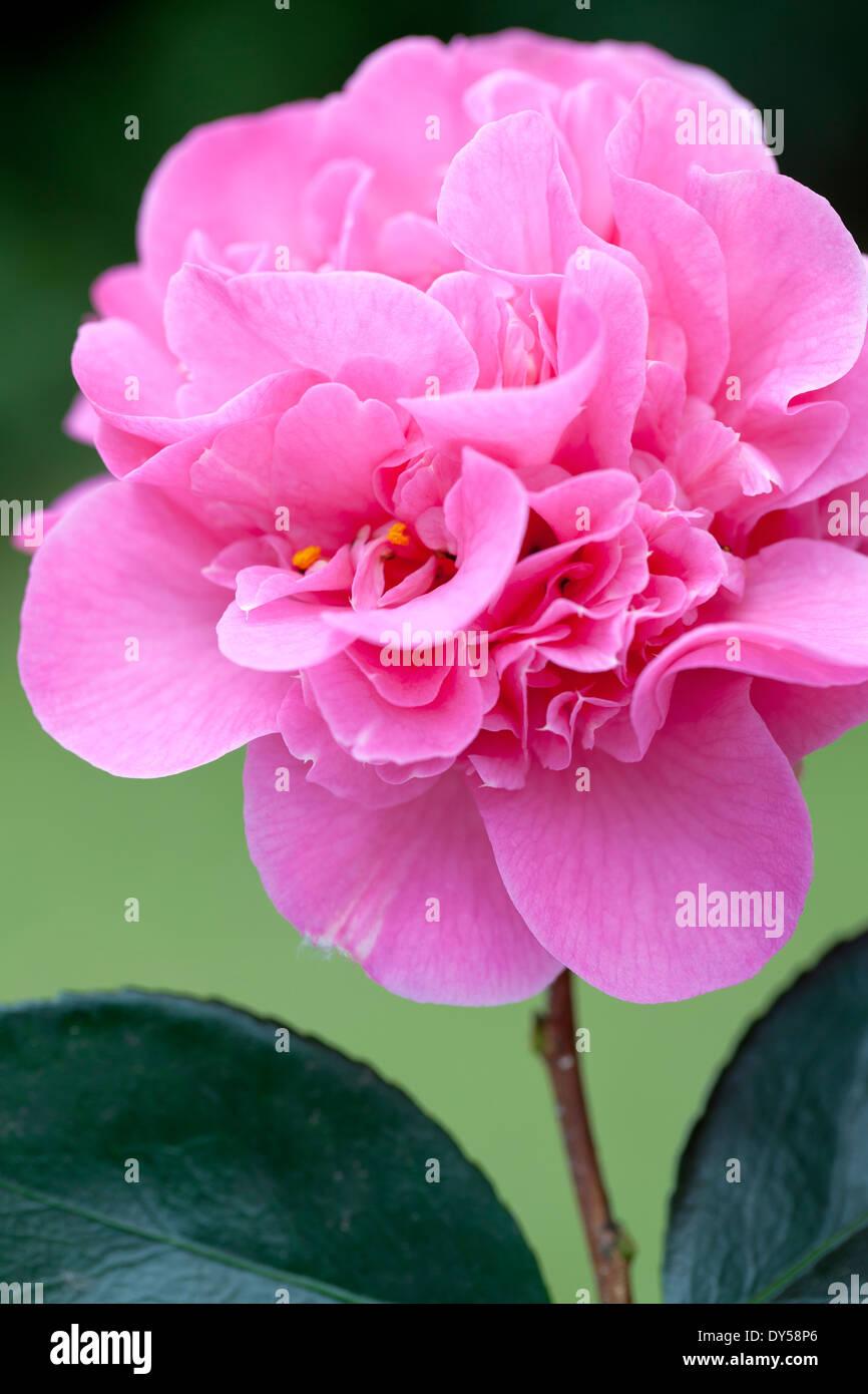 Close up of Camellia x williamsii Debbie,Camellia. Shrub, March. Single bright pink flower. - Stock Image
