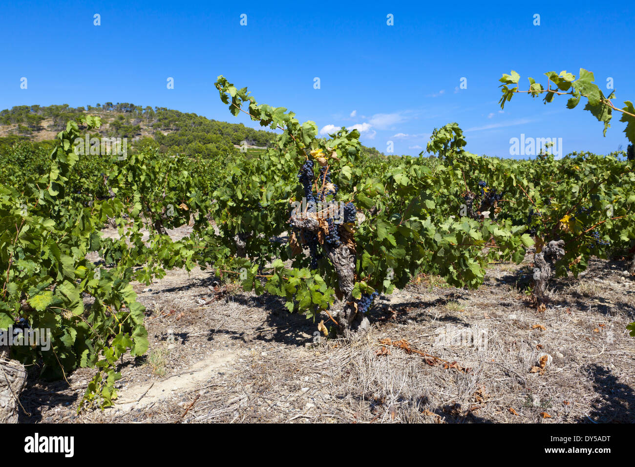 Vineyards at Gruissan in the region Languedoc-Roussillon in southern France Stock Photo