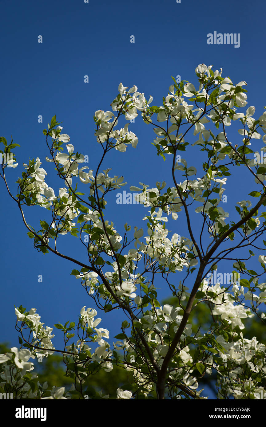Cornus Florida Spring Song with white bracts in Spring UK - Stock Image