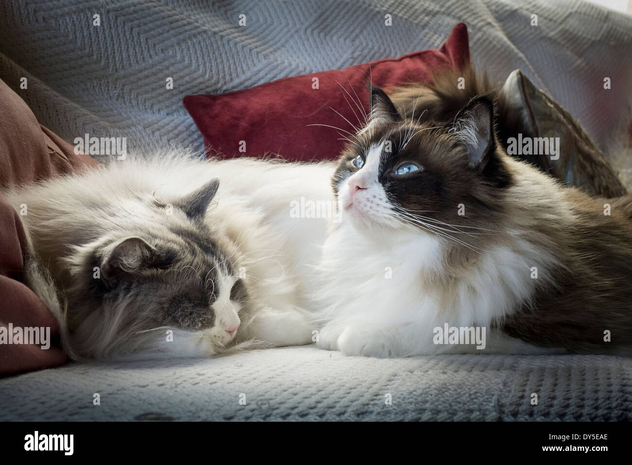 Two Ragdoll cats sharing a settee while living together indoors - Stock Image