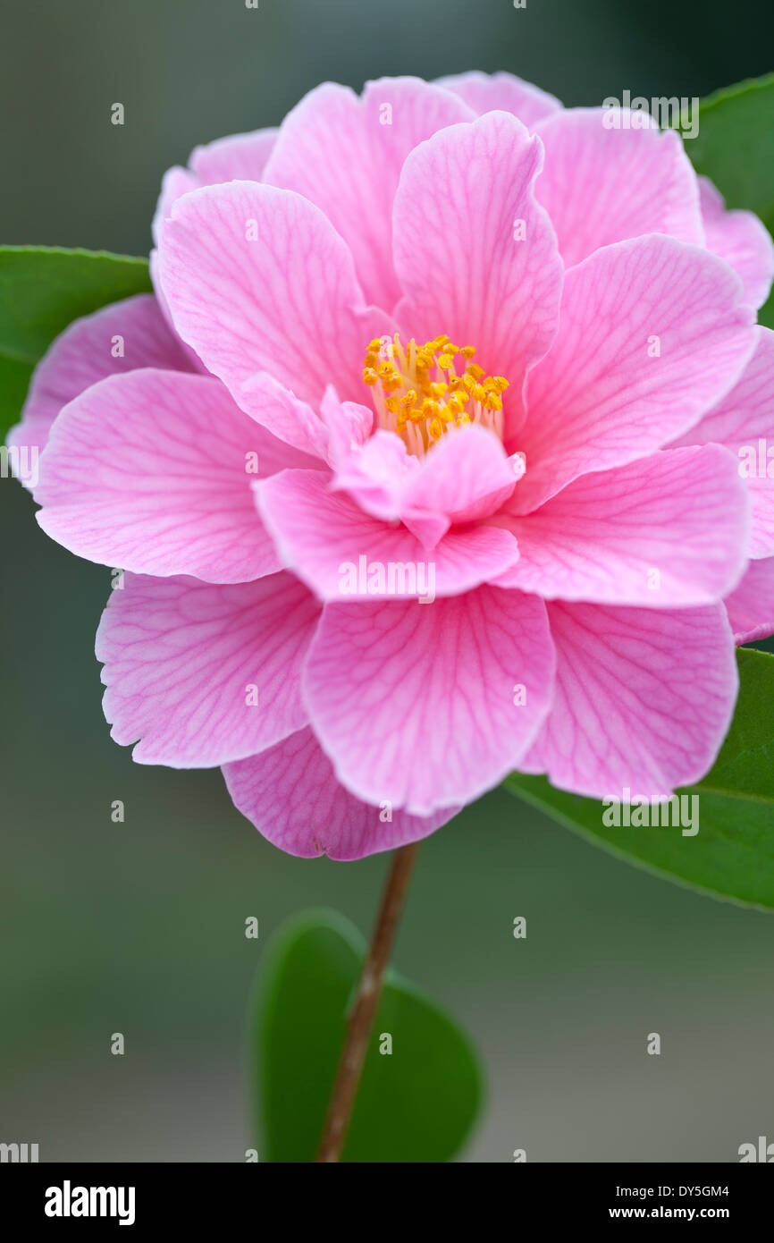 Close up of Camellia x williamsii Donation, Camellia. Shrub, March. Single pink flower. - Stock Image