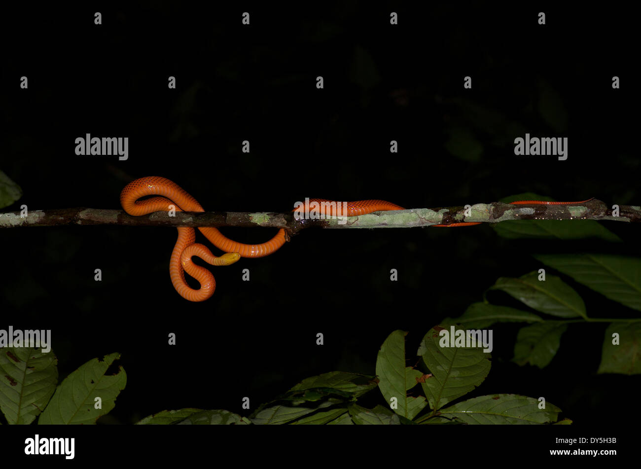 A Yellow-headed Calico Snake (Oxyrhopus formosus) on a thin branch, as seen from directly below, in the Amazon basin Stock Photo