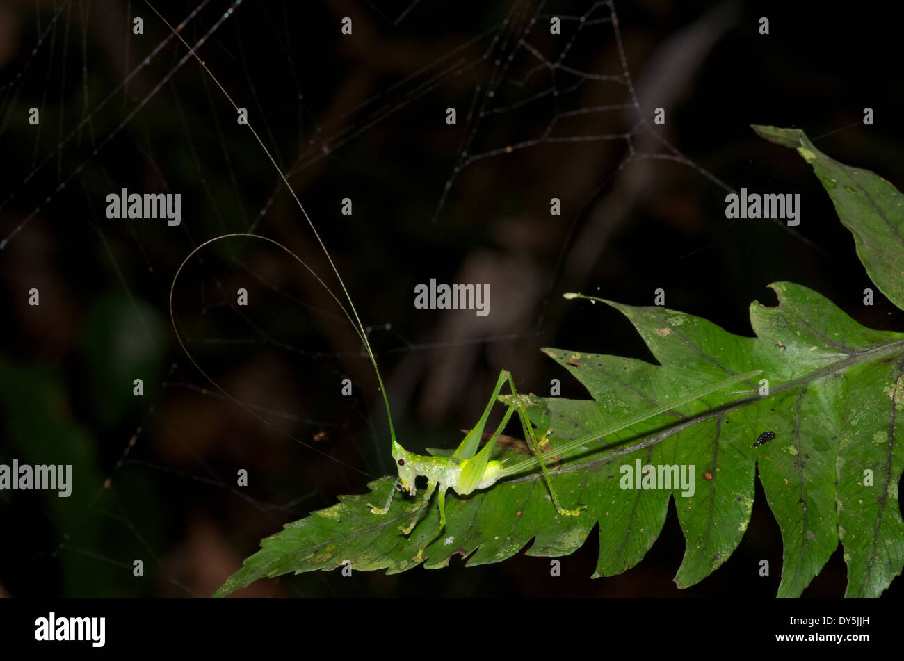 A nocturnal cone-headed katydid cleaning its antennae in the Amazon rainforest in Loreto, Peru. - Stock Image