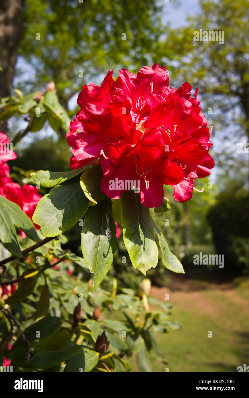 Rhododendron J.G. Millais rhododendron flower in Bowood gardesn - Stock Image