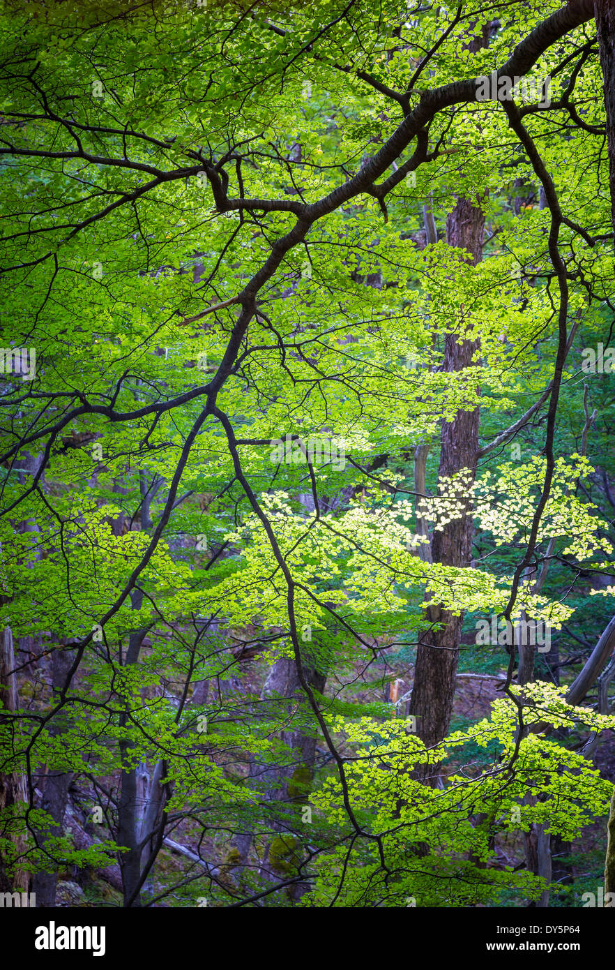 Bright green leaves on tree in forest in the Rio de las Vueltas valley near El Chalten, Patagonia, Argentina - Stock Image
