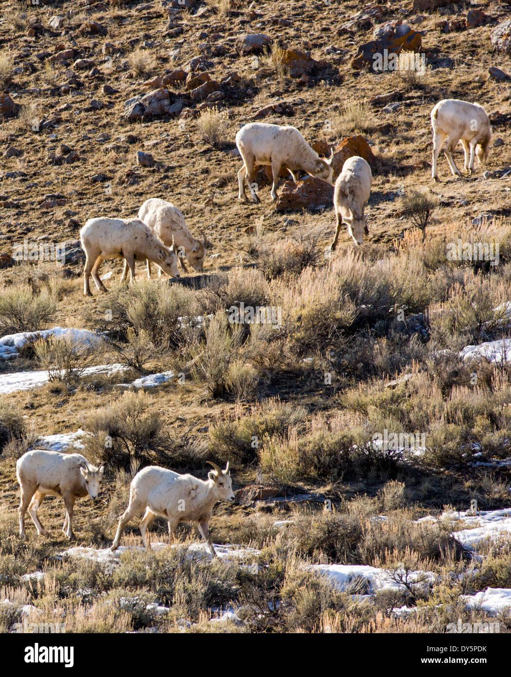 Bighorn Sheep, ewes and lambs, Ovis Canadensis, near Jackson Hole, Wyoming, USA - Stock Image