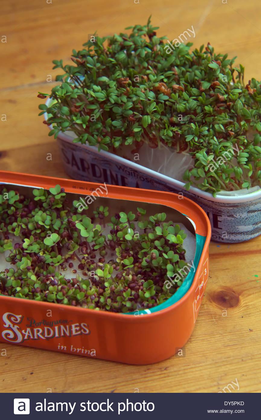 Cress - Lepidium sativum and Growing salad mustard - Brassica growing in old sardine tins - the mustard germinates - Stock Image