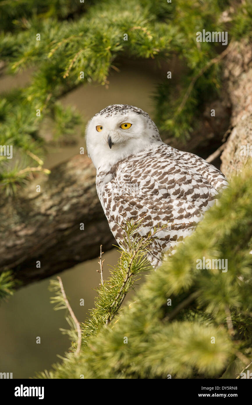 Adult Snowy Owl (Bubo scandiacus) in a fir tree (Abies) - Stock Image