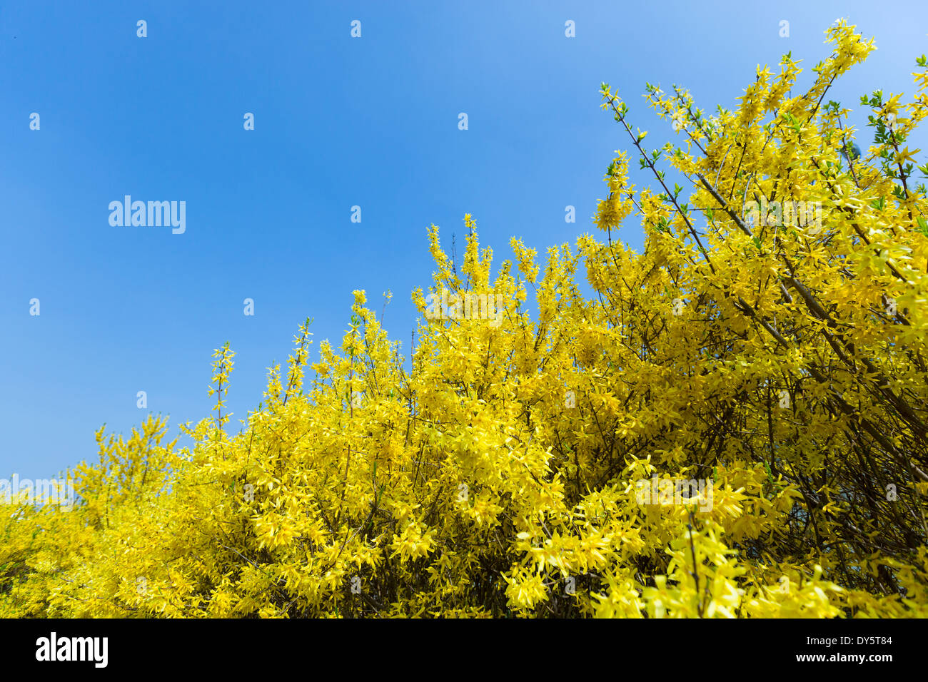 Spring time flower, Zlatý déšť, Laburnum alpinum, against blue sky - Stock Image